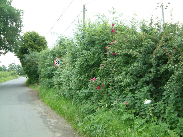 Roses in the hedge
