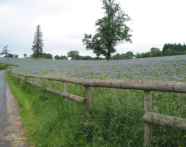 Borage (starflower) crop, near Goodrich