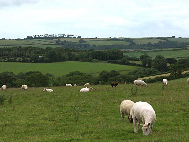 Grazing sheep near Treswithian