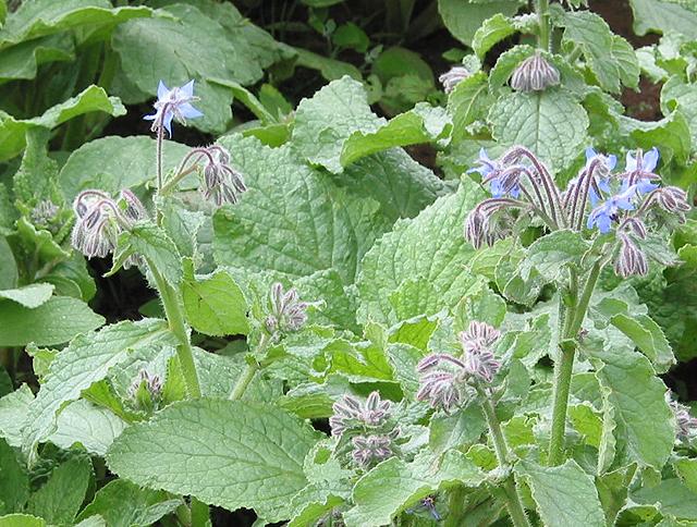 Borage or starflower crop
