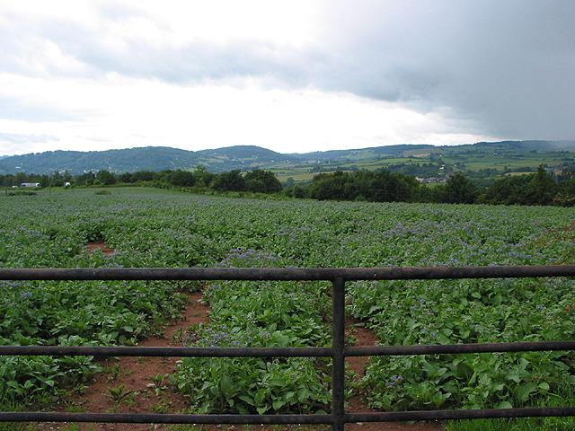 Borage crop with rain approaching