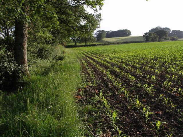 Maize field near Northay Farm
