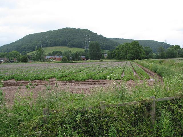 Potato crop, Coughton