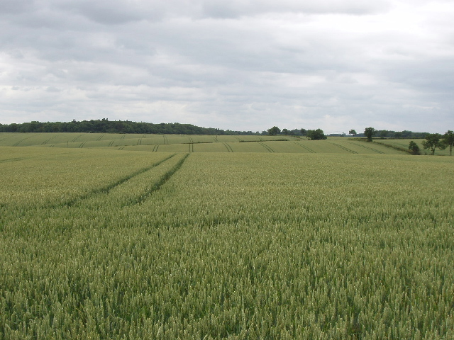 Wheat field by Silverstone circuit