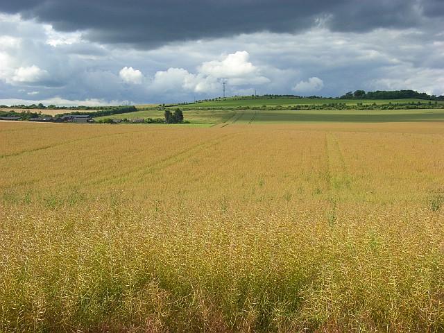 Oil-seed rape, Amesbury