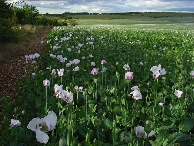 Poppies, Amesbury
