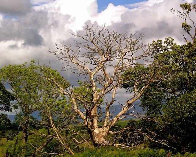 Dead tree near Drumbuie