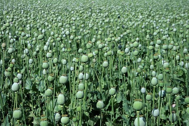 Poppy seed heads