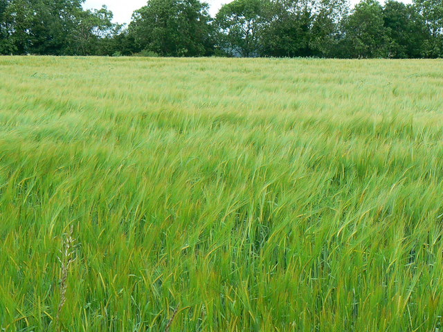 Field of barley, St Catherine