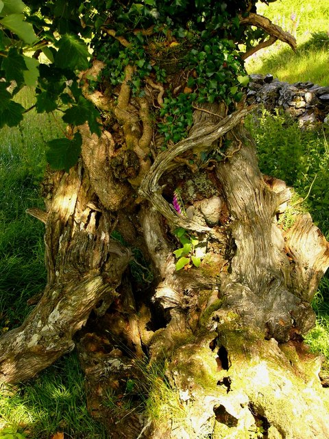 Ancient tree and ivy, Drumbuie.
