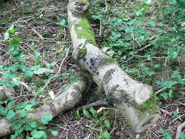 Black fungus on fallen birch, Dyrham Wood (2)