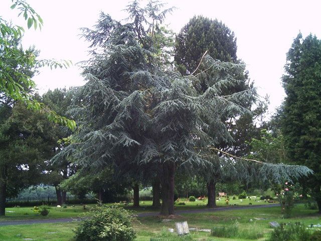 Spruce tree, burial ground Oxted