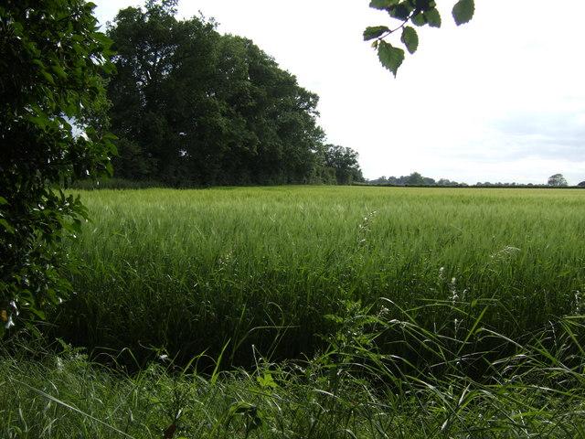 Field of barley between the Franshams