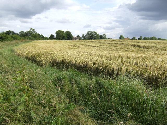 Winter-sown barley
