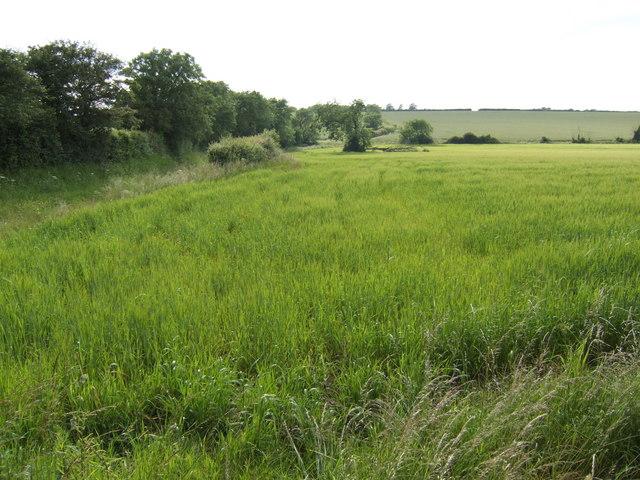 Spring-sown barley
