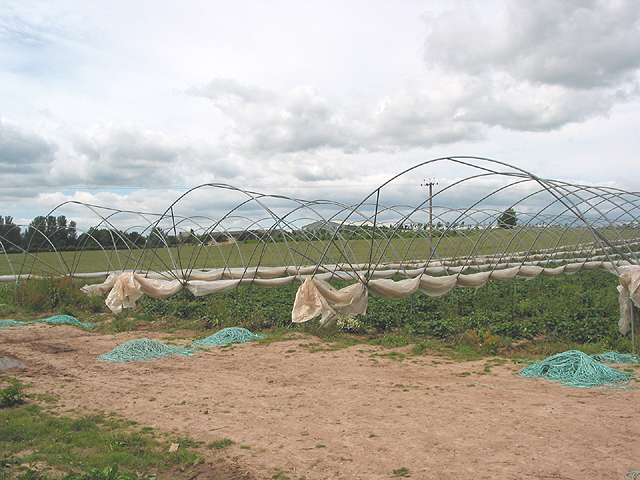 Polytunnel crop, looking W towards The Homme