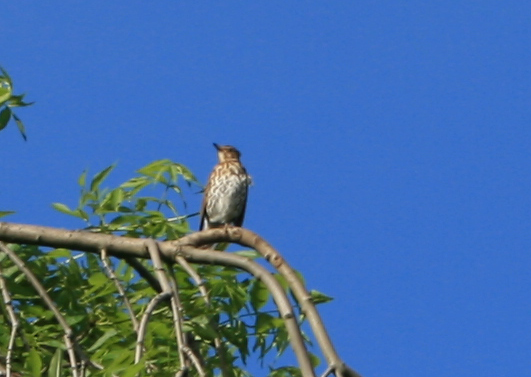 Thrush waiting on Weeping Ash at Middlewood Farm