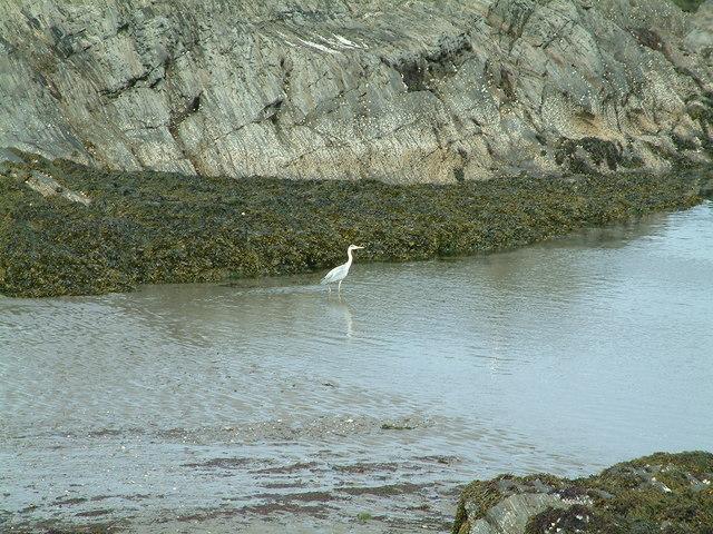 Grey Heron at Cat Rock, Parrog