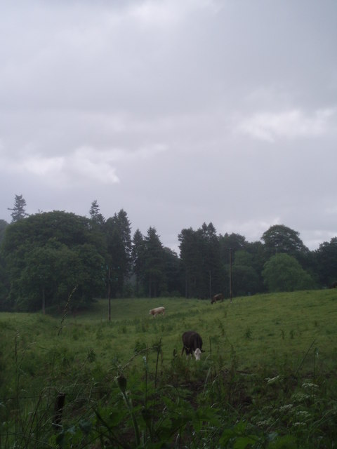 Cows in the rain, Pearsie