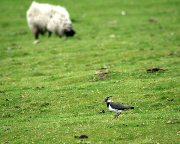 Sheep Pasture, Highcliffe Farm