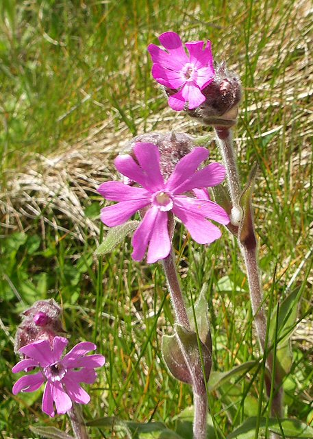 Red campion in the verge