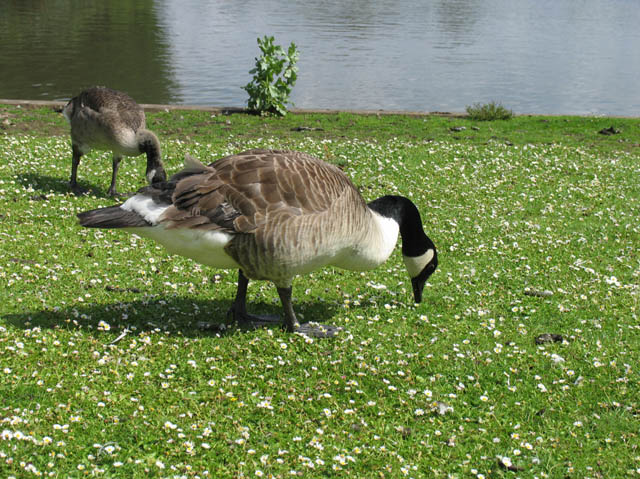 Geese at Forty Hall