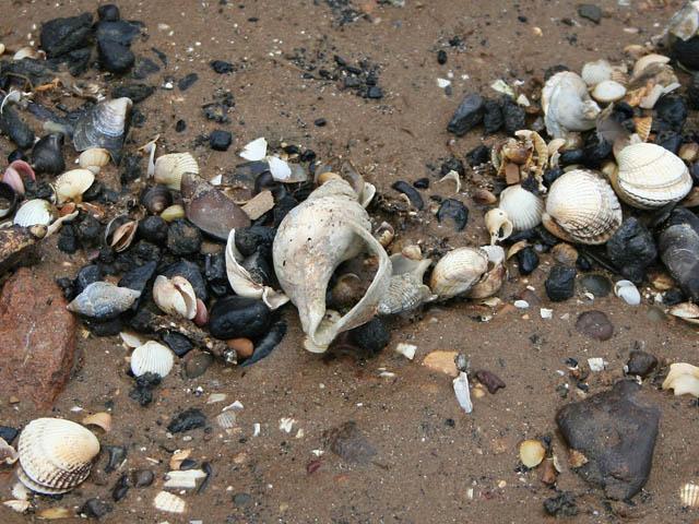 Cleethorpes shells
