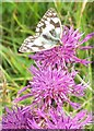 SU0518 : Marbled White Butterfly (Melanargia galathea) by Miss Steel