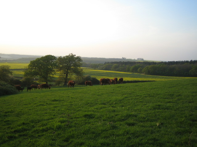 Cows near Finemerehill House, Greatmoor