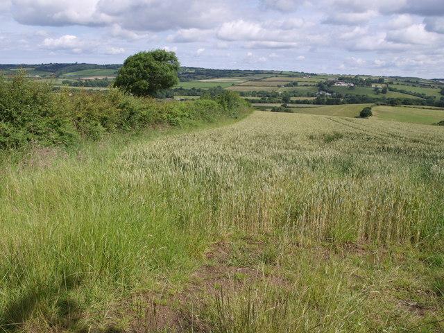 Wheat field at Oak Cross