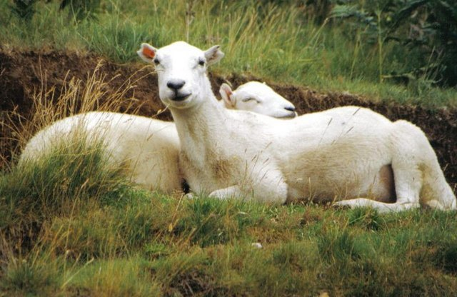 Lazing sheep