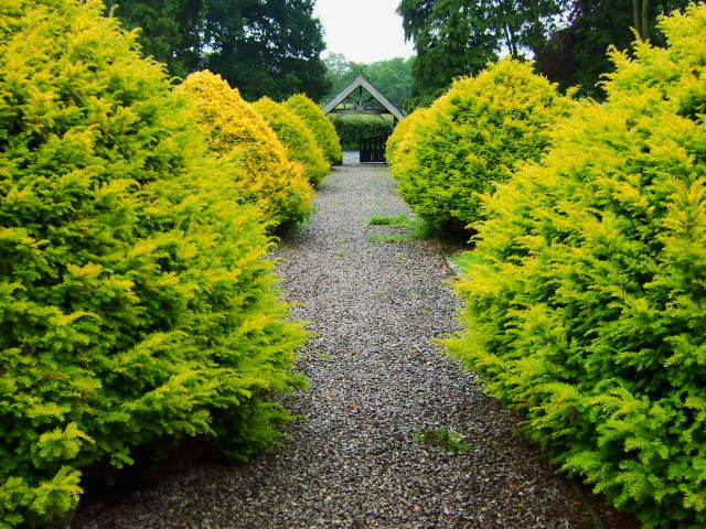Yew lined path