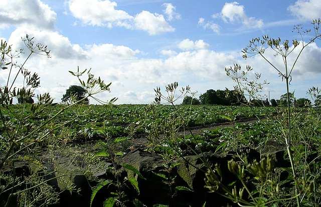 Rhubarb Field - Priesthorpe Lane