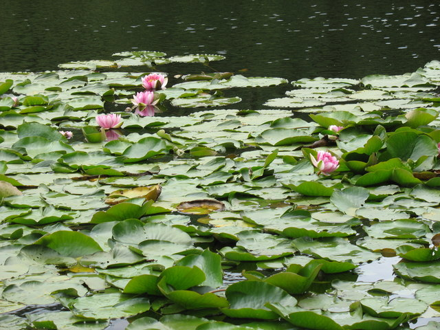 Lilies of the lagoon