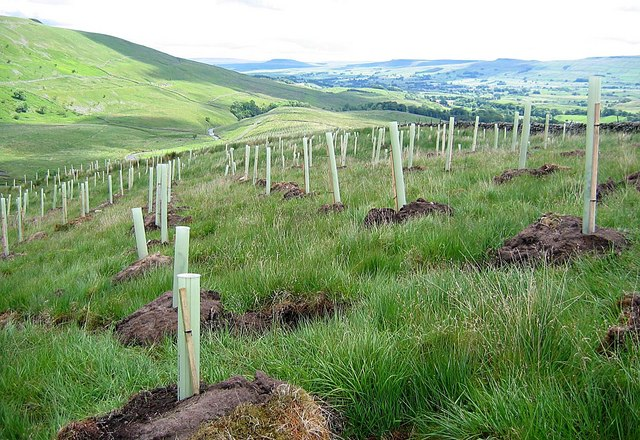 Newly-planted Trees on Cotter High Rigg