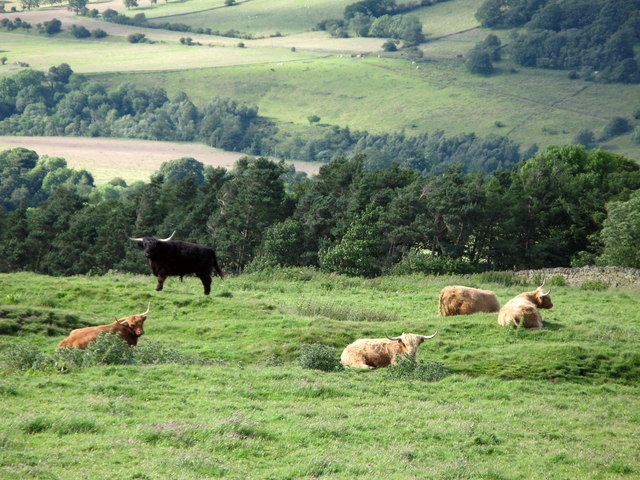 Highland cattle in pastures near Morley Hill