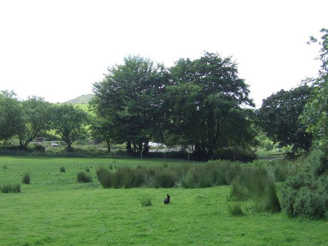 Black rabbit in a field