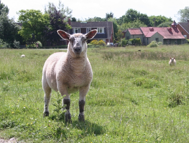 Lamb on Coombe Green Common