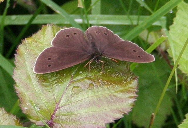 Ringlet on Coombe Green Common