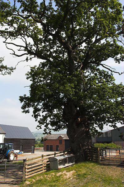 Oak tree at Pant farm