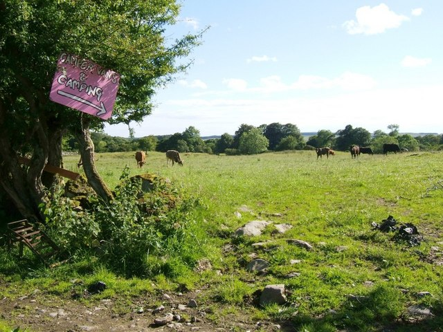 Cattle grazing at Low Threave
