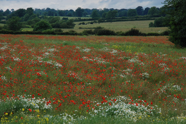 Poppies in Lower Catesby