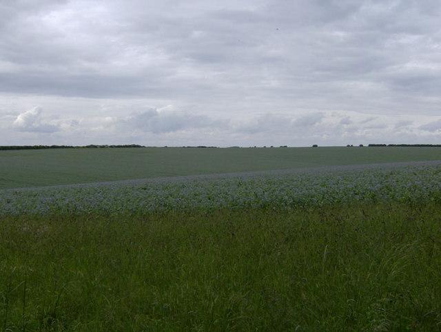 Lincolnshire borage crop