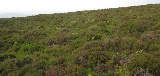 Typical North Berwyn country - thick heather and ferns