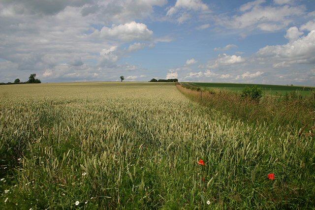 Wheat field at Blackdyke Farm