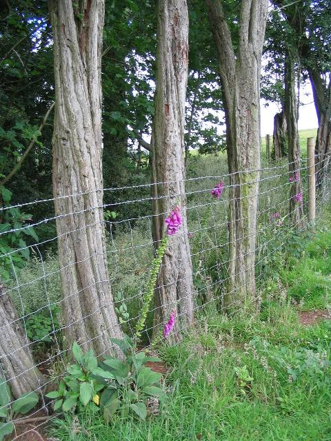 Foxgloves and barbed wire
