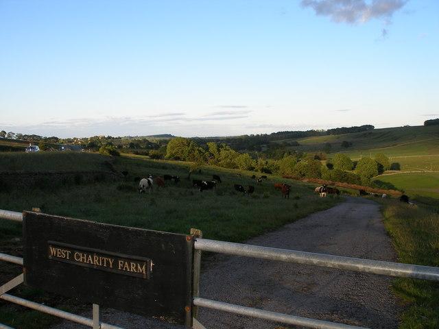 Cattle Graze on West Charity Farm