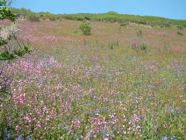 Wild flowers at Treluggan Cliffs