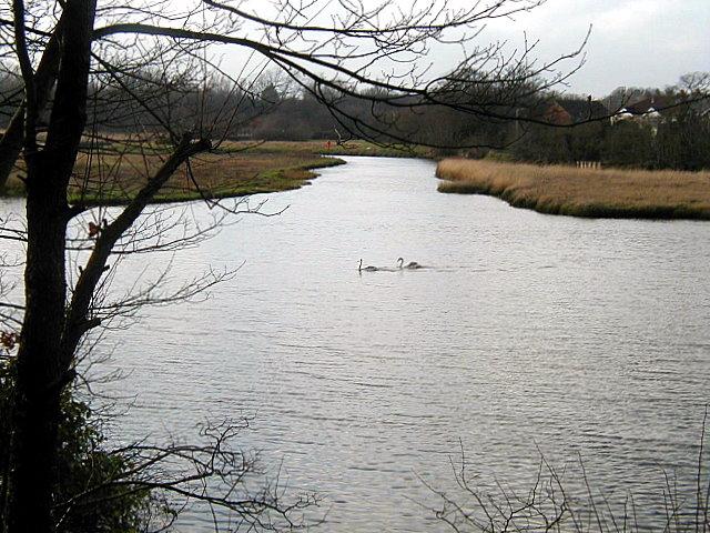 Swans at Eling