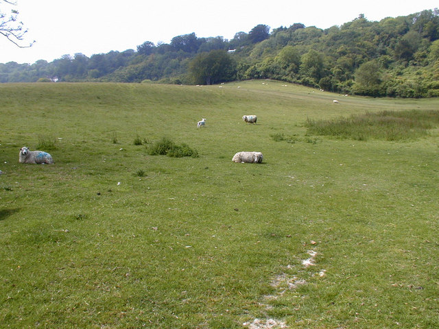 Sheep grazing north of Pilgrim's Way